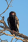 Bateleur Eagle Perched in the Kgalagadi