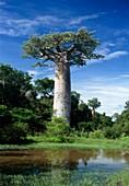 Grandidier's baobab,Madagascar