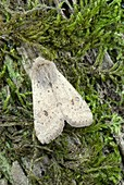 Small Quaker moth