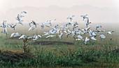 Black-headed ibis taking off