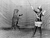 Vallecita's leopard circus act,1900s
