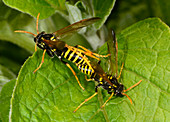 Figwort sawflies mating