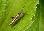 Needle stone-fly