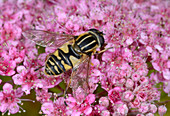 Common tiger hoverfly