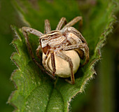 Hunting spider and egg sac