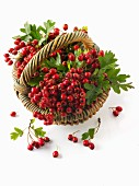 Freshly harvested hawthorn berries in a basket