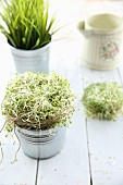 Alfalfa sprouts in little zinc pots on a white wooden background