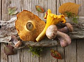 Freshly picked chanterelle mushrooms, hedgehog mushrooms and Pied Bleu mushrooms on a piece of wood