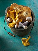 Freshly picked chanterelle mushrooms, hedgehog mushrooms and Pied Bleu mushrooms in a wooden bucket