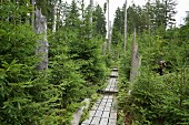 The Aufichtenwaldsteg (spruce tree trail) in the Bavarian Forest National Park, Germany