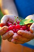 A man's hands holding cherries