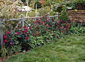 Rosen UND ALCHEMILLA vor Gartenzaun