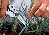 Stecklingsvermehrung von Dianthus caesius / Nelken: 1/5