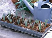Stecklingsvermehrung von Dianthus caesius / Nelken: 3/5