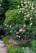 Beet mit Acer, Lupinus, ROSE 'GERTRUDE JEKYLL',