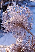 Allium karataviense im Raureif