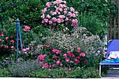 Rosenbeet: Stämmchenrose 'Ballerina' , Gypsophila 'Marisa'