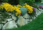 Steingarten mit Alyssum saxatile (Steinkraut), Aubrieta (Blau-