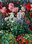 Dahlia-Hybr., Cosmos 'Sonata White', Salvia farinacea,
