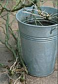 Zweige von Salix / Korkenzieherweide in Wasser legen,