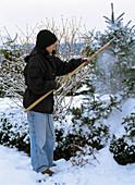Junge Frau schüttelt Schnee von Abies koreana
