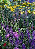 Salvia nemorosa / Ziersalbei, Achillea filipendulina / Schafgarbe,
