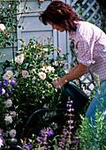 Junge Frau gießt Rosa 'New dawn' / Rose und Campanula