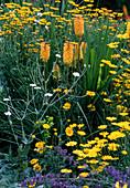 Kniphofia 'Bees Sunset' / Fackellilie, Anthemis tinctoria / Färberkamille