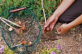 Tulipa / Tulpenzwiebeln werden aus der Erde genommen, sobald