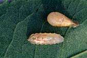 Rhingia campestris / Schwebfliegenlarve