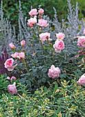 Rosa 'Scepter d'Isle' / Englische Duftrose, Mentha suaveolens