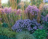 Aster 'Sapphire' / Kissenastern, Carex 'Evergold' / Segge