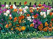 Tulipa (weiße und orange Tulpen)