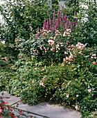 Kleinblütige Polyantharose mit LYTHRUM salicaria,