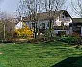 Garten im Vorfrühling mit Goldglöckchen, Rasen und Tulpen im Beet