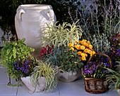 GENTIANA scabra, Lysimachia, Carex, ERYSIMUM linifolium, HELICHRYSUM Thianshanic