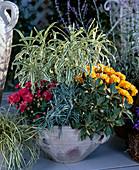 Carex hachijoensis, GENTIANA, HERBSTCHRYSANTHEMEN, HELICHRYSUM, AJANIA pacifica,