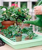 Stecklingsvermehrung von Pelargonium zonale