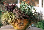 Carex, CALLUNA (BESENHEIDE), COTONEASTER (FELSENMISPEL), AJANIA pacifica