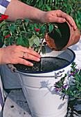 3.STEP: Pflanze AUSTOPFEN UND BALLEN Gut
