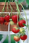 Erdbeere 'Elsanta' (Fragaria) trägt suesse, aromatische Früchte