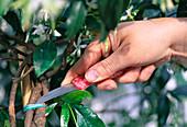 Drähte mit denen Trachelospermum jasminoides (Sternjasmin)