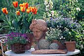 Stillleben mit Terracottakopf: Tulipa 'Cape Cod',