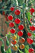 Kirschtomate 'Sweet 100' (Lycopersicon)
