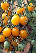 Tomate 'Mirabell' - gelbe Mirabelle - französische Tomatensorte