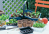 Balkonblumenjungpflanzen (easy PLANT, Baldur)