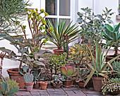 Sukkulente: Aloe, Agave, AEONIUM, Kalanchoe,