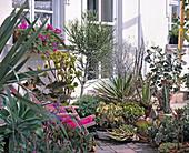 Sukkulente : Aloe, Agave, AEONIUM, DIV. Crassula,