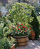 Tulipa,Acer japonicum, MYOSOTIS,NARCISSUS,