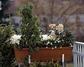 ABIES KOREANA 'brevifolia', CROCUS vernus,